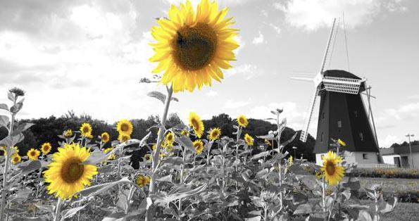 向日葵の咲かない夏