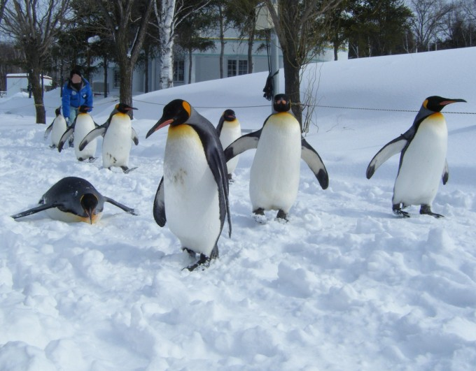 Asahiyama_zoo_Penguin