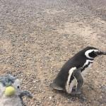マゼランペンギンを見にバルデス半島へ行こう!
