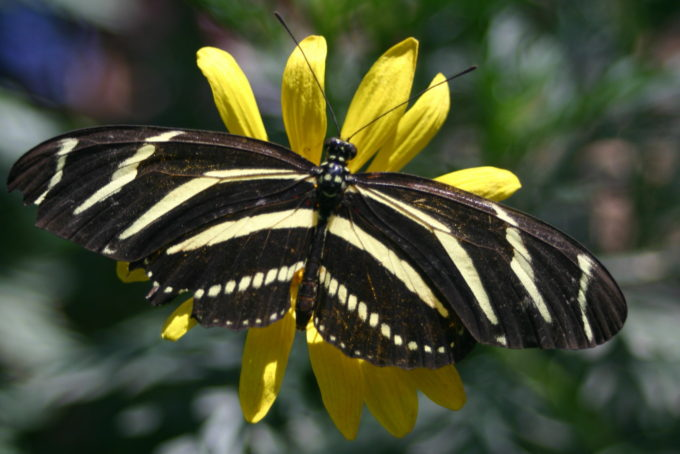 Zebra_longwing_butterfly