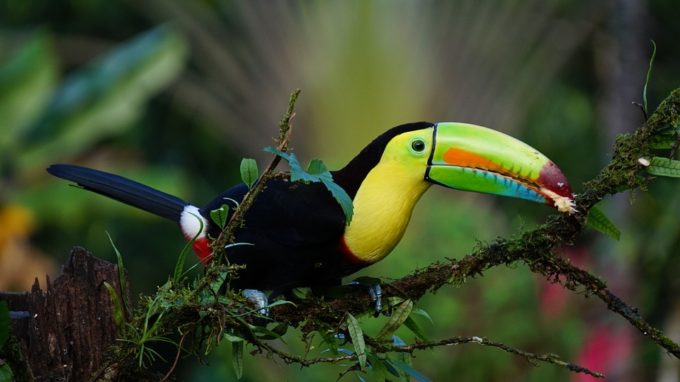 keel-billed-toucan-1021048_960_720